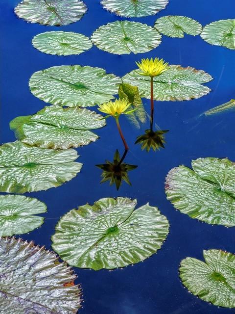 , 'Water Lilies,' 2017, Cerulean Arts