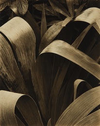 Paul Strand, 'Iris, Georgetown, Maine,' 1928, Phillips: The Odyssey of Collecting
