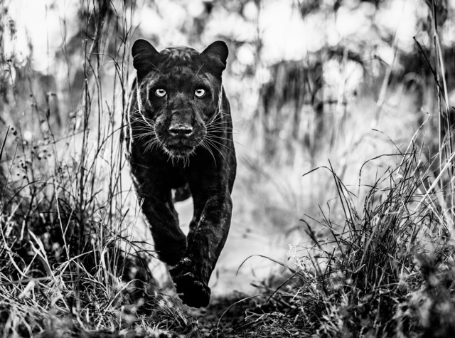 David Yarrow, 'Black Panther Returns', 2019, Photography, Archival Pigment Photograph, Holden Luntz Gallery