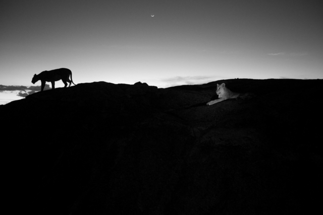 , 'The Vumbi pride prepares for the evening hunt. Serengeti plains lions, because they have no cover, hunt by the darkness of night. They're very tuned in to both when the sun rises and sets and when the moon rises and sets. Serengeti National Park, Tanzania.,' 2012, Anastasia Photo
