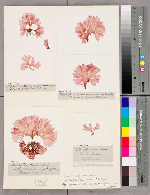 , 'Nitophyllum Bonnemaisonii,' 2013, Múrias Centeno