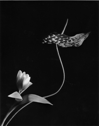 Horst P. Horst, 'Tulip with Anthurium, Oyster Bay, New York', 1989, Staley-Wise Gallery