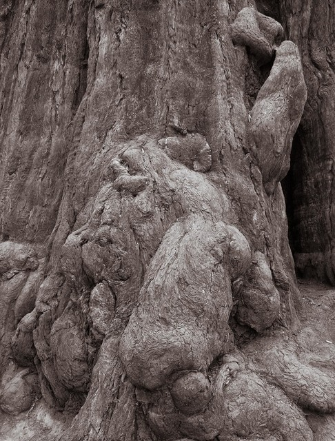 , 'Redwood Burl, Humboldt, California,' , Soho Photo Gallery