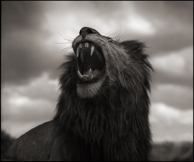 , 'Lion Roar, Maasai Mara 2012,' 2012, photo-eye Gallery