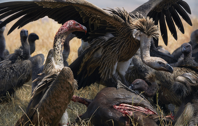 , 'Vulture Buffet,' 2017, Osborne Samuel