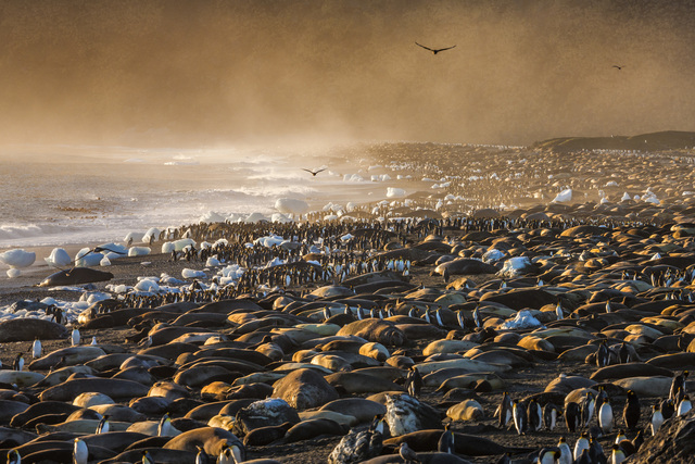 , 'A Colony for Kings,' , Paul Nicklen Gallery