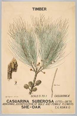 Agard Hagman, 'Botanical illustration of Casuarina suberosa (She-Oak) ', 1887, Powerhouse Museum