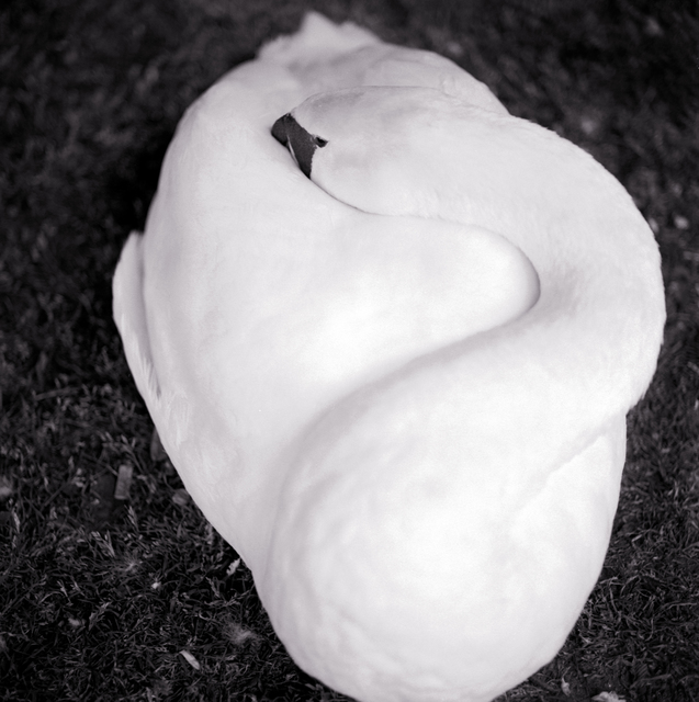 , 'Sleeping Swan,' 1995, Catherine Couturier Gallery