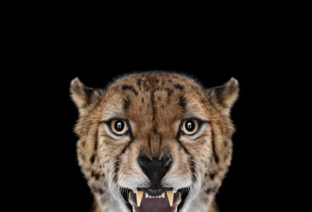 Brad Wilson, 'Cheetah #3, Los Angeles, CA', 2011, photo-eye Gallery