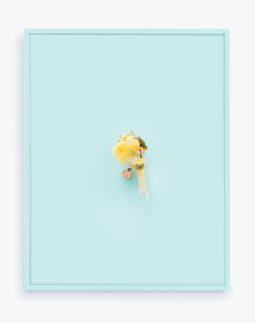 Daniel Handal, 'Yellow Parisian Frilled Canary (Baby Blue)', 2017, ClampArt