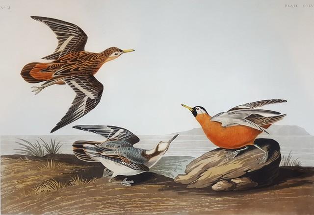 John James Audubon, 'Red Phalarope', 1835, Graves International Art