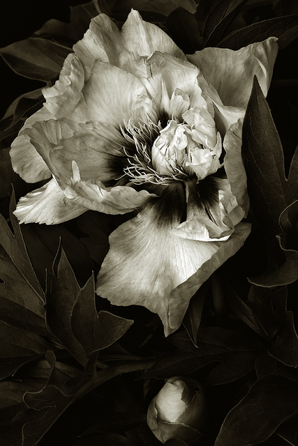 , 'Our Peony,' , Soho Photo Gallery