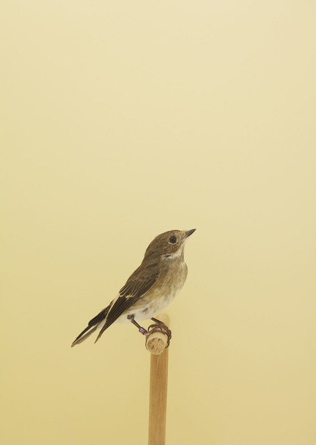 , 'European Pied Flycatcher #1,' ca. 2016, The Photographers' Gallery