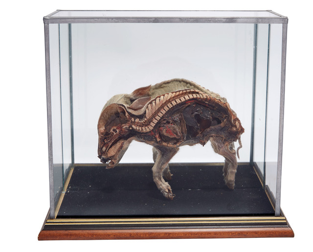 'Preserved Cross-Section of a Piglet in Display Case', Doyle