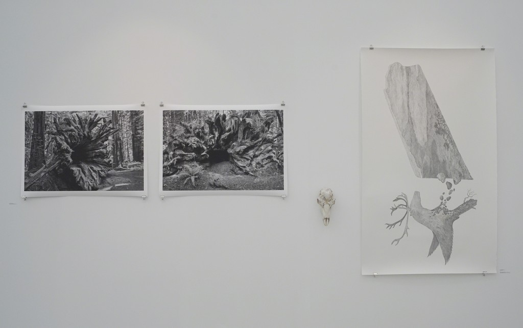 "From left: Thale Fastvold ""Sequoia Sempervirens (Legacy)"" nr 1 and nr 2 photography 2018, Tanja Thorjussen ""Tupilaq Relic"" nr 4 Reindeer scull with pencil drawing 2018 and "" Siedi - Tupilaq and Transteinen"" pencil drawing and gold leaf on Arches paper 2018."
