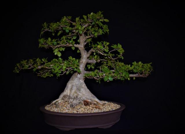 , 'Chinese elm - Ulmus parvifolia catlin,' ca. 1993, Absolut Art Gallery