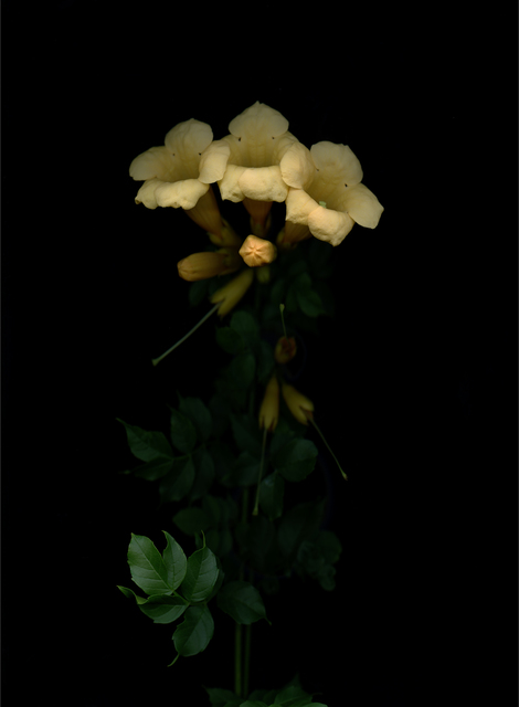 , 'Goldene Trompete (Campsis radicans flava),' 2017, Galerie Judith Andreae