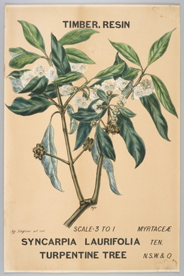 Agard Hagman, 'Botanical illustration of Syncarpia laurifolia (Turpintine Tree)', 1887, Powerhouse Museum