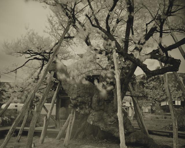Keiichi Ito, 'Yakushisakura', 2012, Micheko Galerie