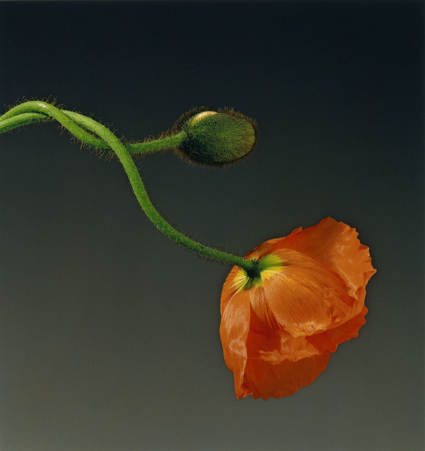 , 'Poppy,' 1988, Los Angeles County Museum of Art