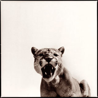 Nine Francois, 'Cougar 1', Visions West Contemporary