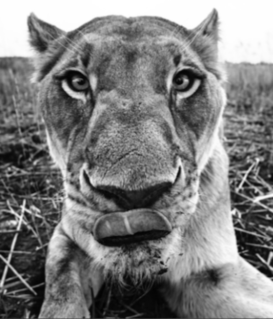 David Yarrow, 'Lunch', 2016, Photography, 315gsm Hahnemuhle Photo Rag Baryta Paper, Isabella Garrucho Fine Art