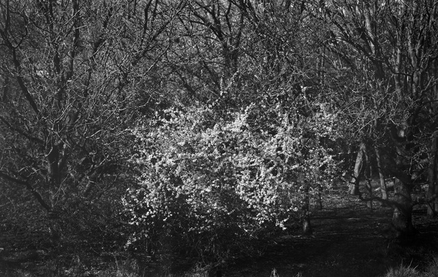 , 'Hawthorn,' 2013, Pace/MacGill Gallery