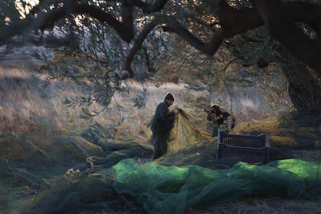 , 'Olive Harvest in a Mistral 1/5,' , Gail Severn Gallery