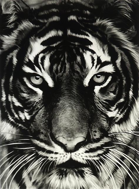 , 'Tiger,' 2011, David Benrimon Fine Art