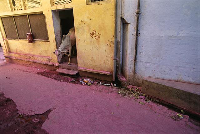 , 'Pink Cow Vrindavan, Uttar Pradesh, India,' 1997, Pucker Gallery