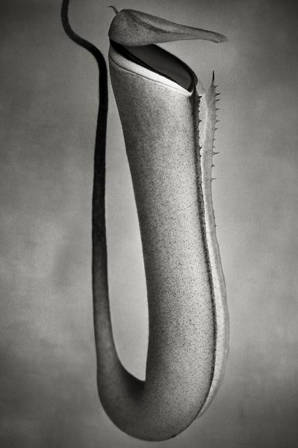 , 'Nepenthes Albomarginata ,' , photo-eye Gallery