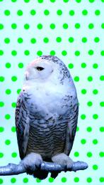 Kool Snowy Owl