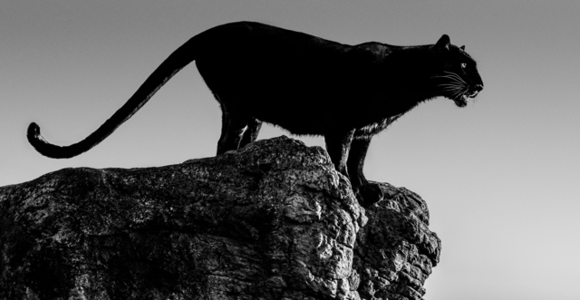 David Yarrow, 'Black Cat', 2019, Photography, Archival Pigment Photograph, Holden Luntz Gallery