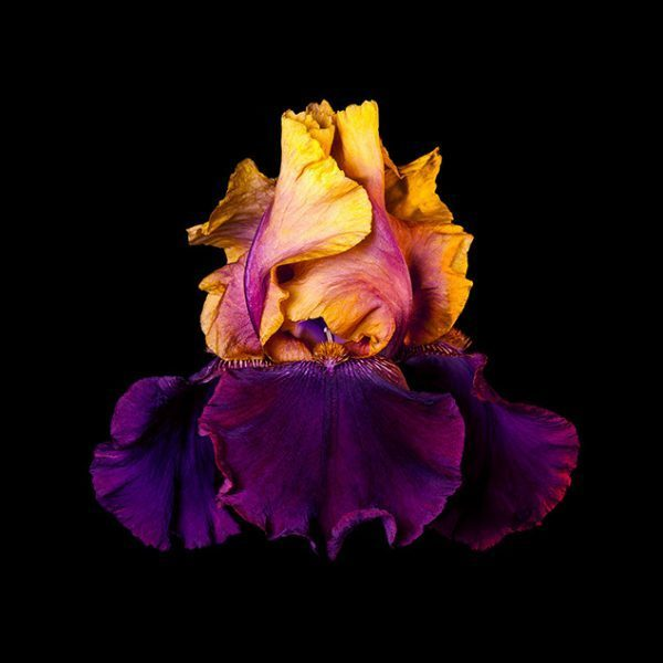 , 'Naturalium 5 – Bearded Iris,' ca. 2019, The Drang Gallery