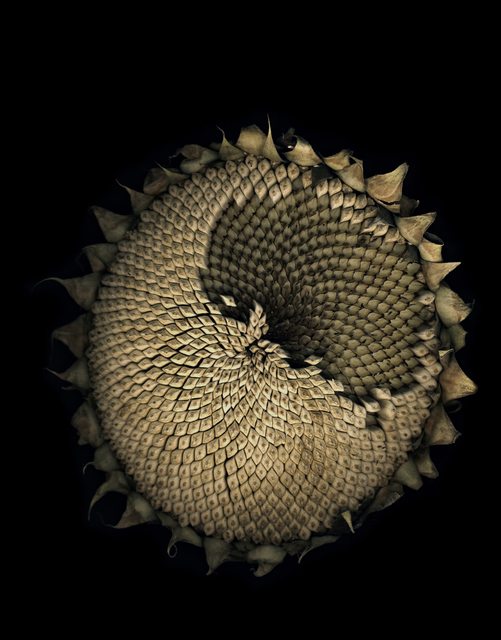 , 'Untitled (Sunflower) from FLOWERS,' 2009, Mai 36 Galerie
