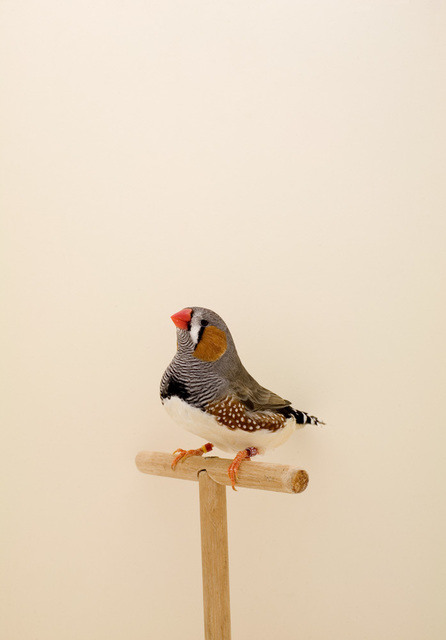 Luke Stephenson, 'Zebra Finch #1, from The Incomplete Dictionary of Show Birds', 2008, The Photographers' Gallery | Print Sales
