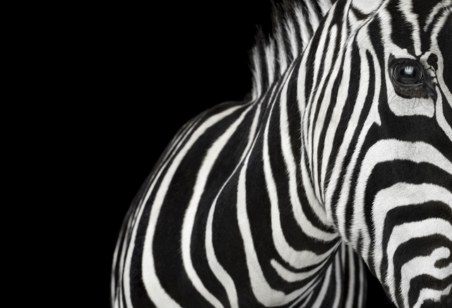 , 'Zebra #1, Los Angeles, CA,' 2010, photo-eye Gallery