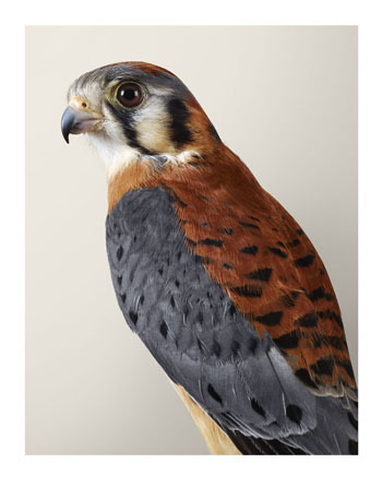 , ''Bob' Kestrel,' 2015, Purdy Hicks Gallery