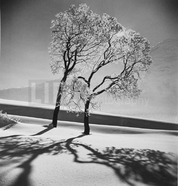 Alfred Eisenstaedt, 'Trees in Snow', 1947, Contessa Gallery