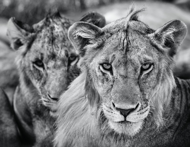 David Yarrow, 'The Boys Are Back in Town', 2019, Hilton Asmus