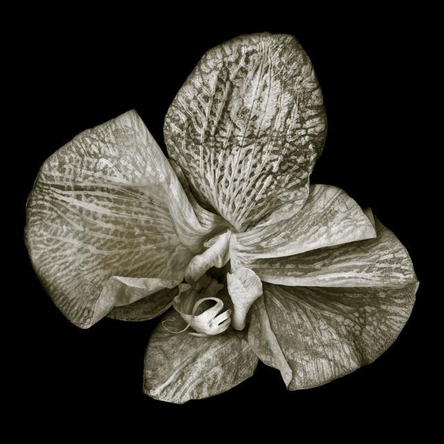, 'Phalaenopsis #3,' , Fabrik Projects Gallery