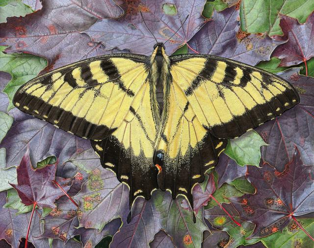 Rick Pas, 'Tiger Swallowtail/Maple', 2016, William Baczek Fine Arts