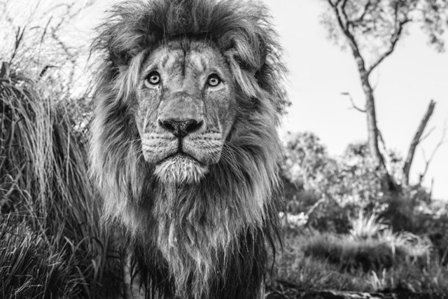 David Yarrow, 'Kingdom', 2019, Isabella Garrucho Fine Art