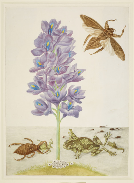 , 'Water Hyacinth with Marbled or Veined Tree-Frogs and Giant Water-Bugs,' 1702-1703, Royal Collection Trust