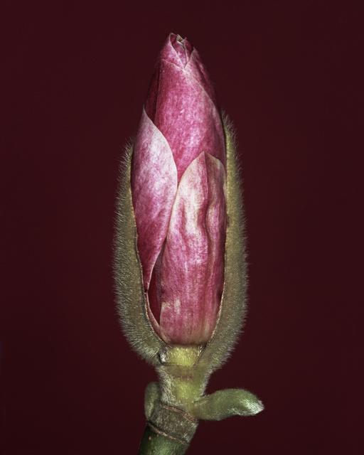 Helene Schmitz, 'Magnolia x soulangiana bud', 2003, WILLAS contemporary