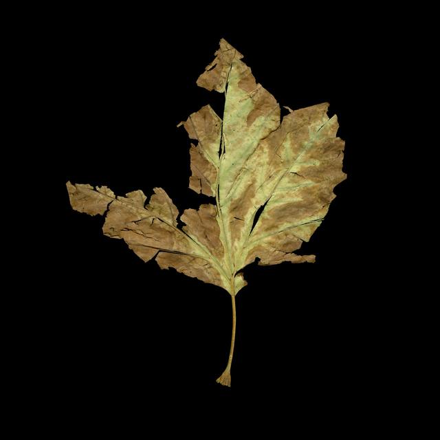 , 'Albuquerque Leaf, New Mexico,' 2011, David Richard Gallery