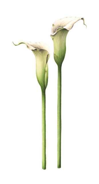 , 'Zantedeschia aethiopica - Arum Lily   ,' , Jacaranda Images