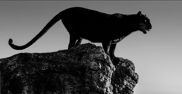 David Yarrow, 'Black Cat', 2019, Hilton Asmus
