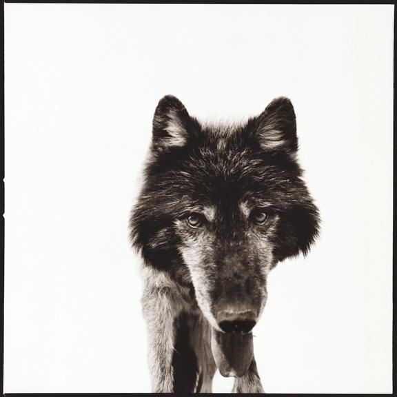 Nine Francois, 'Wolf 3', 2014, Julie Nester Gallery