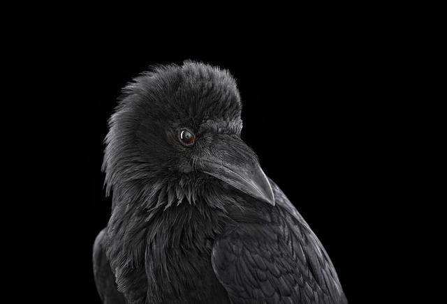 Brad Wilson, 'Raven #2, Albuquerque, NM', 2013, photo-eye Gallery